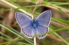Endangered Mission Blue butterfly