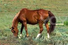 Image Search Results for american quarter horses