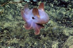 Dumbo Octopus--Looks like he's smiling.