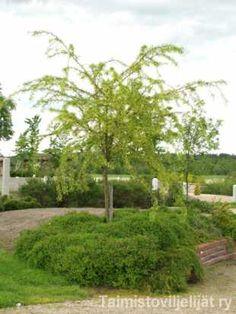 Caracana arborescens 'Lorbergii' SULKAHERNEPENSAS  Pihan pienimpiin kuuluva puu on oikeastaan yksirunkoiseksi kasvatettu pensas, jonka latvan alle sopivat vaikkapa perennat ja kesäkukat. Suhteellisen nopeakasvuiset hernepensaat kestävät erinomaisesti kuivuutta sekä kohtalaisen hyvin tiesuolaa. Kasvutapa: Taimi koostuu jalo-osasta ts. latvuksesta ja perusrungosta, jonka korkeus on yleensä 180 cm. Lehdistö: Lankamaisen kapealiuskainen. Syysväri keltainen. Kukinta: Kesäkuun puolivälissä…