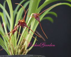 Orchid Masdevallia herradurae (FS)