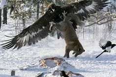 Never bother an eagle when he is eating!!