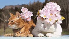 Shironeko Cat and his Family! 30 Funny Gifs! - funnycatsgif.com