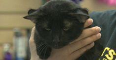 Batman, le chat aux quatre oreilles