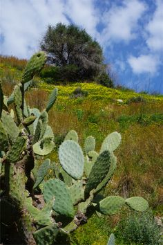 Prickly pear- the unofficial tree of Sicily Taormina, Sicily