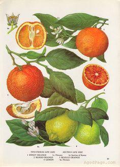 Fruit Print, Botanical Orange and Lemon Illustration, Vintage Kitchen Decor, Wall Art