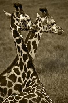 gotta love giraffes they are so beautiful and grace full