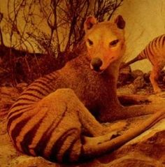 One day I will see a Tasmanian Tiger. I feel this in my bones. But that could just be the aches from camping out in the damp on the Trail of the Tasmanian Tiger Tasmanian Tiger, Tasmanian Devil, Unusual Animals, Animals Beautiful, Drop Bear, Forest Drawing, Extinct Animals, Animals Of The World, Endangered Species