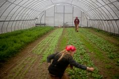 Transplanting lettuce in the hoop house (from The Plough And The Stars)