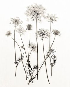 Botanical Print Queen Annes Lace Minimal Minimalist White Field Flowers Vintage Feel Flora Sepia, Fine Art Print