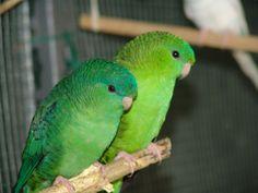 Pappagallino barrato - Barred parakeet -  Bolborhynchus lineola