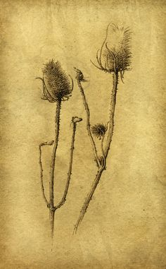 dry teasels