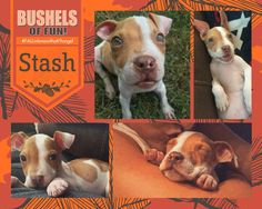 Hello there! I'm Stash... I am about 14 weeks old and around 5lbs.  I am super playful, I love my toys. I sleep so quietly in my crate at night. I have diabetes so my owners dumped me :( but i'm such a good boy.  Please come visit me at the adoption center and see for yourself!  5533 Weslayan Houston, Tx 77005