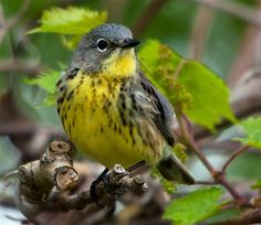 Kirtland's Warbler- decreasing dramatically.