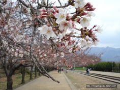 경화역 그 흐드러지게 핀 벚꽃 나무와 흩날리는 벚꽃 아래로 지나가는 수호와 은영... Gyeonghwa Station, a train station covered with a lot of cherry blossom flowers and falling petals and Sooho and Eunyoung passing under the trees