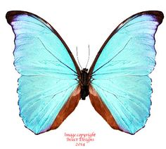 This is Morpho amathonte from Costa Rica, otherwise known as Morpho menelaus amathonte.