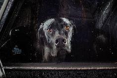 Cani lasciati soli in macchina. In un parcheggio, in unarea di sosta o addirittura in montagna: chiusi dentro, ad attendere che il padrone ritorni, spesso dopo diverse ore. Non è un ritratto inconsueto e negli occhi dei più fedeli amici delluomo, si può leggere la paura, il di