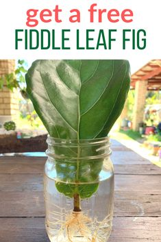 It's easy to propagate fiddle leaf fig trees in water. Just use this tutorial to ensure your success, it It's easy to propagate fiddle leaf fig trees in water. Just use this tutorial to ensure your success, it really is so easy! Garden Plants, House Plants, Cactus Plants, Succulent Planters, Cactus Art, Succulents Garden, Fiddle Leaf Fig Tree, Fiddle Fig, Fig Leaf Tree