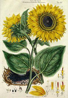 Sunflower - Helianthus annuus L. from Illustratio systematis sexualis Linnaei by J. Vintage Botanical Prints, Botanical Drawings, Botanical Art, Fine Art Prints, Framed Prints, Poster Prints, Canvas Prints, Posters, Illustration Blume
