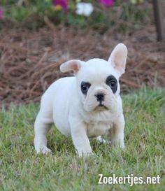 Franse Bulldog pups-11 weken oud klaar