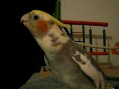 """Cockatiel sings """"If Your Happy & You Know it"""" and talks"""