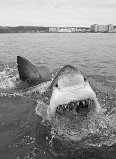 You just have to appreciate how powerful and amazing the great white shark is.  Oh and imagine the nose holes as eyes... It looks funny ;)