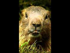 Marmotte Chiante - Ce que tu dis...
