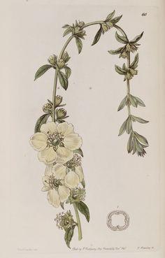 Belles fleurs - Belles fleurs 179 Heimia salicifolia grandiflora - Large-flowered Heimia - Gravures, illustrations, dessins, images