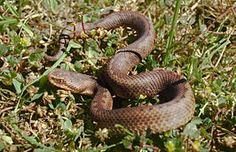 Baskian viper, Iberian cross adder or Portuguese viper (Vipera seoanei)  is a venomous viper species endemic to extreme southwestern France and the northern regions of Spain and Portugal. Two subspecies are currently recognized.