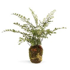 CONSERVATORY MAIDENHAIR FERN DROP-IN 13' -- Read more reviews of the product by visiting the link on the image.