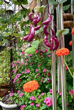 Purple Hyacinth Beans Recommended Vines for Sacramento Zone 9 Gardening Zones, Purple, Flowers, Long Flowers, Plant Hanger, Bean Varieties, Hyacinth Bean Vine, Patio Landscaping, Edible Garden