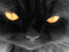 ojos naranjas de gato persa europeo