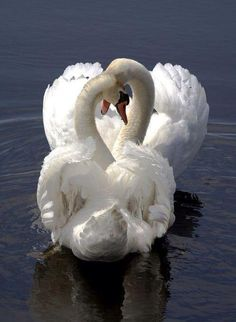 Mute Swan (Cygnus olor) Critically Endangered - native to much of Eurasia and, as a rare winter visitor, the far north of Africa. Beautiful Swan, Beautiful Birds, Animals Beautiful, Simply Beautiful, Pretty Birds, Love Birds, Cygnus Olor, Animals And Pets, Cute Animals