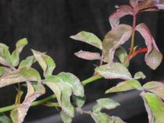 Natural Plant Mildew Recipe There Are Some Effective Home Remes You Can Try To Help
