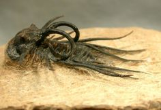 Dicranurus monstrosus  Devonian  Family Odontopleuridae  Aatchana, Morocco