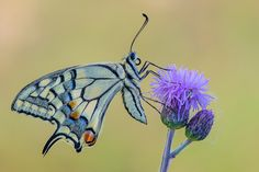 Papilio machaon (Linneus, 1758)