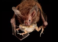 DINNERTIME  A fringe-lipped bat sweeps out of the night to  carry off a túngara frog. The bat relies on a series of senses to  avoid accidentally taking a poisonous meal.