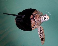 """After losing 3 flippers (perhaps to a shark), """"Allison the green sea turtle could only swim around in tight circles because she only had one flipper.... Her prosthetic fin acts like a rudder and keeps her stable. The turtle has learned how to flap her one good flipper in unique ways to change direction. She enjoys her 'ninja suit' so much that her handlers say she tries to swim away any time they approach her to remove it."""" Caption at link"""