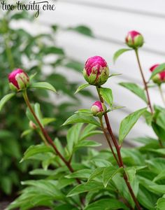 Tips for growing Peonies.