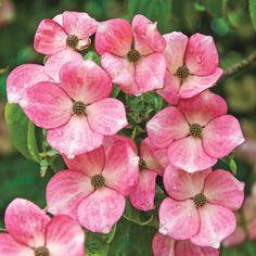 Radiant Rose Dogwood: Cornus x 'Radiant Rose' - Hybrid Dogwood