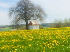 Löwenzahnwiese mit Kapelle und Linde im Staudengebiet (Schwaben) Country Roads, Heaven, Landscape