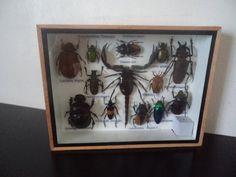 Taxidermy 13 Real Mounted Tropical Insects Boxed by amazinginsects