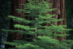 The common name sequoia refers to two species of evergreen tree native to California: the coast redwood (Sequoia sempervirens) and the giant sequoia (Sequoiadendron giganteum). The former is widely ...
