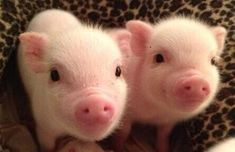 """@CambiMann: How cute are these piggies?!!! @Kirsten Lagomarsino  pic.twitter.com/yBf7VUpBhN""  Oh Lord ..how cute !!"