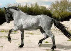 Murgese stallion, Carletto. A rare blue roan; the only color other than solid black seen in the Murgese breed. Carletto is a young dressage horse. #MurgeseHorses