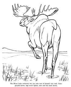 Drawings Of Wild Animals | Animal Drawings Coloring Pages | Wild Moose animal identification ...