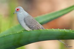 Diamond Dove perched on an Aloe leaf. (Geopelia cuneata). One of the smallest doves native to Australia.