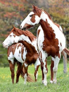 Striking chestnut frame (formerly overo) paint horse. The frame gene creates white patches, often with jagged edges, on the base coat while the midline of the body remains dark. Cute Horses, Pretty Horses, Horse Love, Beautiful Horses, Animals Beautiful, American Paint Horse, Cheval Pie, Animals And Pets, Cute Animals