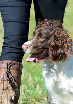 Another stunning Springer Spaniel from one of the breeders on Gundog Breeders UK