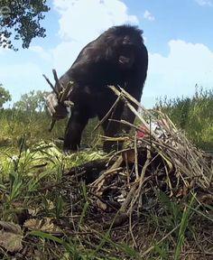 Este chimpancé prende una fogata y calienta malvaviscos